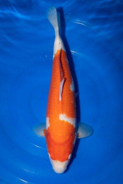 Kohaku, 36 cm, Nisai 2019
