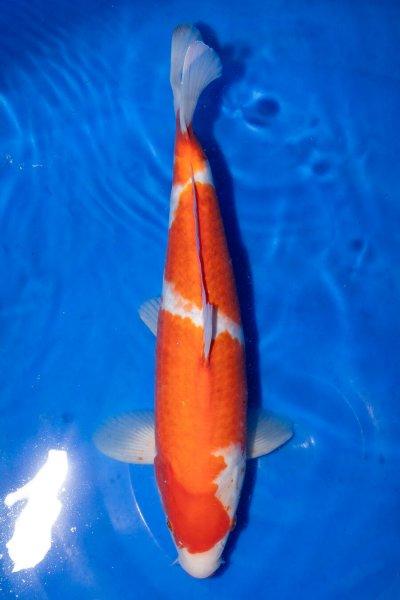Kohaku, 38 cm, Nisai 2019