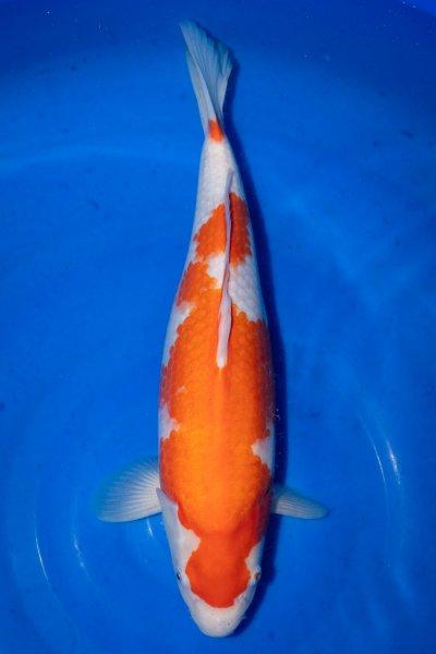 Kohaku, 42 cm, Nisai 2019