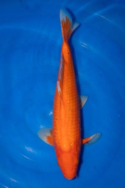 Benigoi, 43 cm, Nisai 2019