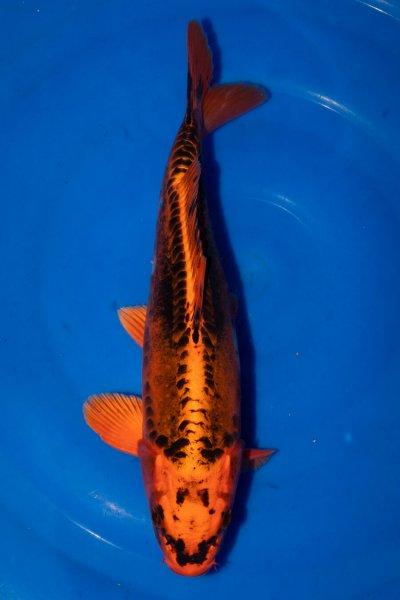 Kikokuryu, 36 cm, Nisai 2019