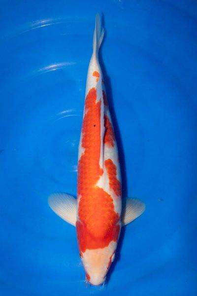 Goshiki, 41 cm, Nisai 2019