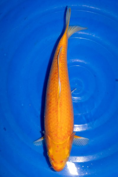 Kawarigoi, 44 cm, Nisai 2019